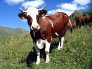 Куплю крупно-рогатый скот (бычки, коровы)