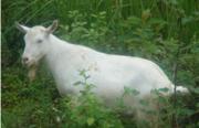 Зааненские козлы,  козлики