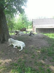 Продам козла и коз. Доставка